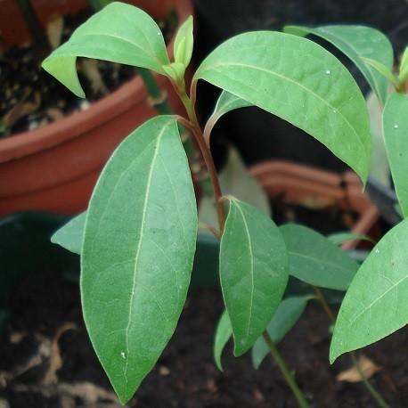 camphor-tree-plant