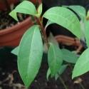 Cinnamomum camphora KAMPFERBAUM (pflanze)