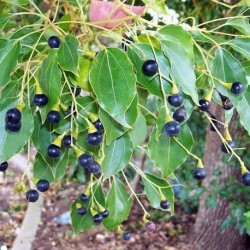 Cinnamomum camphora ALCANFOR (10 semillas)