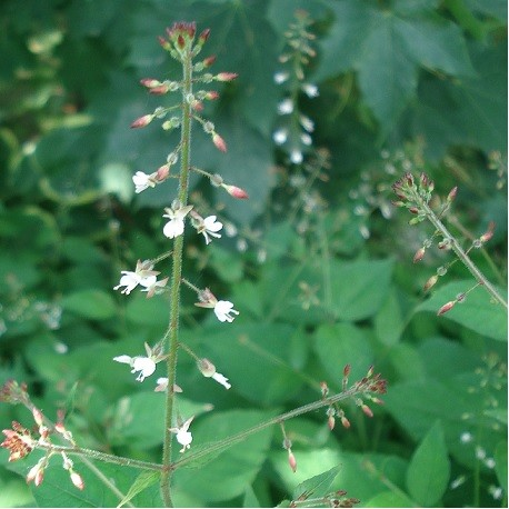 hierba-de-san-simon-semillas