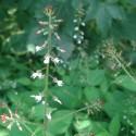 Circaea lutetiana HIERBA DE SAN SIMON (20 semillas)