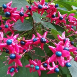 harlequin glorybower live plant