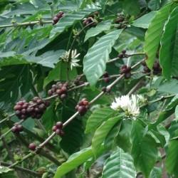 cafeto-cafetero-semillas