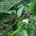 Coffea arabica COFFEE (10 seeds)