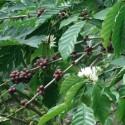 Coffea arabica KAFFEESTRAUCH / KAFFEE (10 samen)