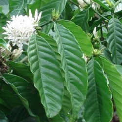 kaffeebaum-pflanze