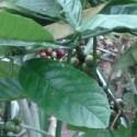 Coffea canephora CAFETO CAFÉ ROBUSTA (10 semillas)