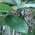Coffea canephora KAFFEESTRAUCH / KAFFEE ROBUSTA (10 samen)