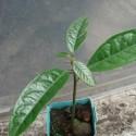 Cola acuminata NUEZ DE COLA (2 semillas)