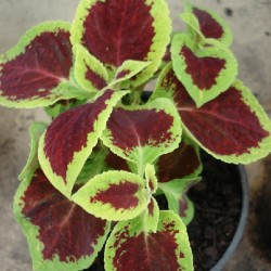 Coleus blumei COLEUS / COLIOLE (plante)