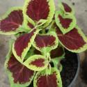Coleus blumei FLAME NETTLE (plant)