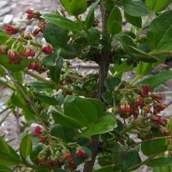 Coriaria ruscifolia HUIQUE (10 semillas)