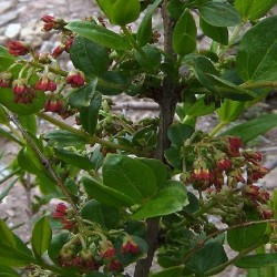 Coriaria ruscifolia SHANSHI (10 seeds)