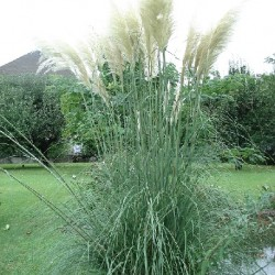 Cortaderia selloana PAMPAS GRASS (20 seeds)