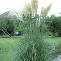 Cortaderia selloana HERBE DE LA PAMPA (20 graines)