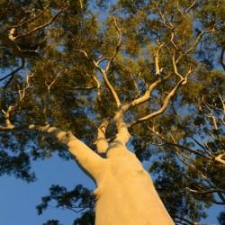 Eucalyptus citriodora EUCALIPTO DE LIMON (10 semillas)