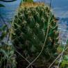 Coryphantha-clava