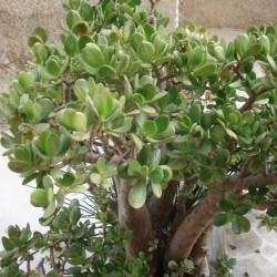 Crassula ovata ARBOL DE JADE (planta)