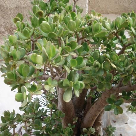 plante-de-jade