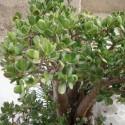 Crassula ovata PLANTE DE JADE / ARBRE DE JADE (plante)