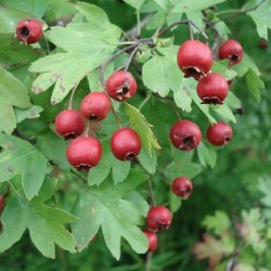 Crataegus monogyna COMMON HAWTHORN (10 seeds)