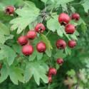 Crataegus monogyna EINGRIFFELIGER WEIẞDORN (10 samen)