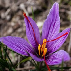 Crocus sativus ASAFRÁN (5 bulbos)