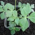 Cryptotaenia japonica PERSIL JAPONAIS MITSUBA (plante)