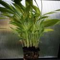 Curcuma longa KURKUMA (pflanze)