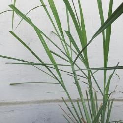 Cymbopogon citratus CAÑA LIMÓN (20 semillas)
