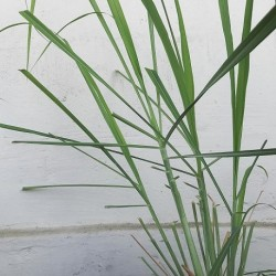 Cymbopogon citratus ZITRONENGRAS (20 samen)