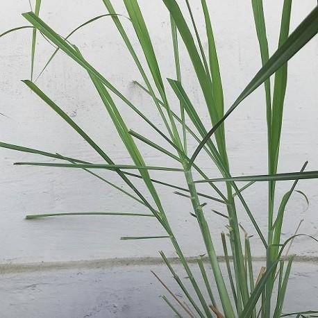 zitronengrass