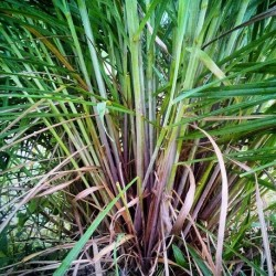 Cymbopogon martinii GINGER GRASS (20 seeds)