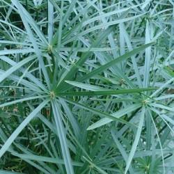 Cyperus alternifolius ZYPERNGRAS (pflanze)