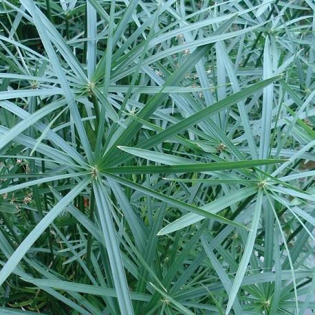 umbrella-papyrus-live-plant