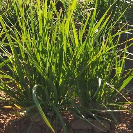 10 CORMS // SEEDS Cyperus esculentus TIGERNUT GRASS//SEDGE Chufa Erdmandel
