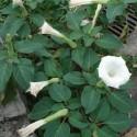 Datura metel TROMPETA DEL DIABLO (10 semillas)