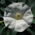 Datura metel TROMPETA DEL DIABLO (planta)