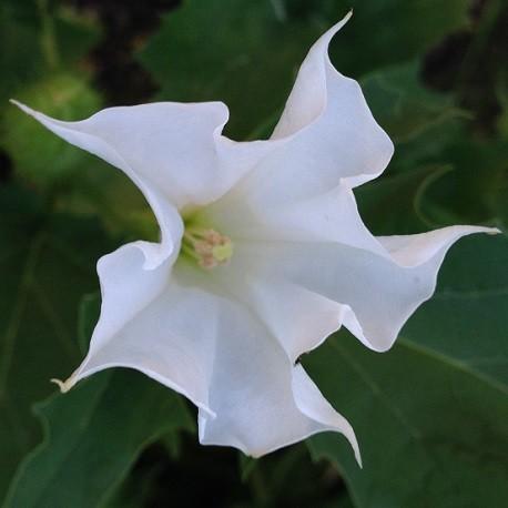 devils-trumpet-seeds