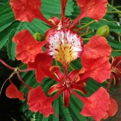 Delonix regia FLAMBOYÁN (5 semillas)