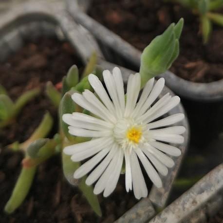 Delosperma-pflanze