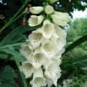 Digitalis grandiflora WHITE FOXGLOVE (25 seeds)