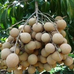 Dimocarpus longan DRAGON EYES, LONGAN (5 seeds)