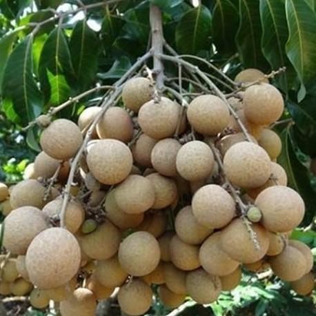 longan-seeds