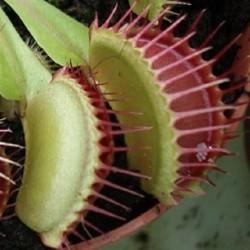 Dionaea muscipula VENUSFLIEGENFALLE (10 samen)
