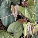 Dioscorea bryoniifolia BARBASCO / CAMISILLA (5 semillas)