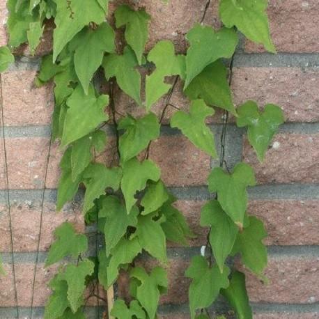 Dioscorea-yam-semillas