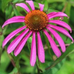 Echinacea purpurea ÉCHINACÉE POURPRE (20 graines)