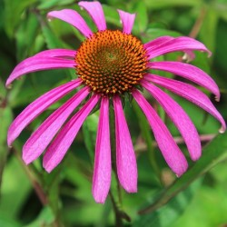 Echinacea purpurea PURPLE CONEFLOWER (20 seeds)