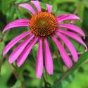 Echinacea purpurea EQUINÁCEA (20 semillas)